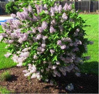 11397470585caping Ideas  Miss Kim Lilac Bergen County NJ 2 SPRING LANDSCAPING TIPS & IDEAS BY CIPRIANO   BERGEN COUNTY NJ