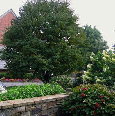 Mature Specimen tree cipriano farms 396x400 Landscaping Plants & Nursery  Specimen Trees & Plants